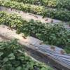 イチゴ狩りの棚