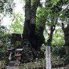 来宮神社の御神木(第一大楠)